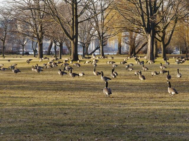 Les oies sauvages ont pris possession du parc. En hiver, ce sont elles les attractions!