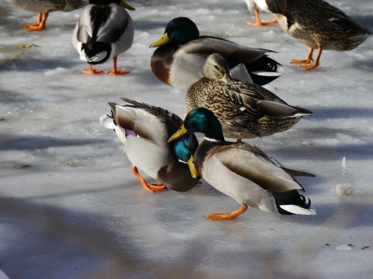 Les canards, eux, semblaient s'adapter parfaitement à la glace!