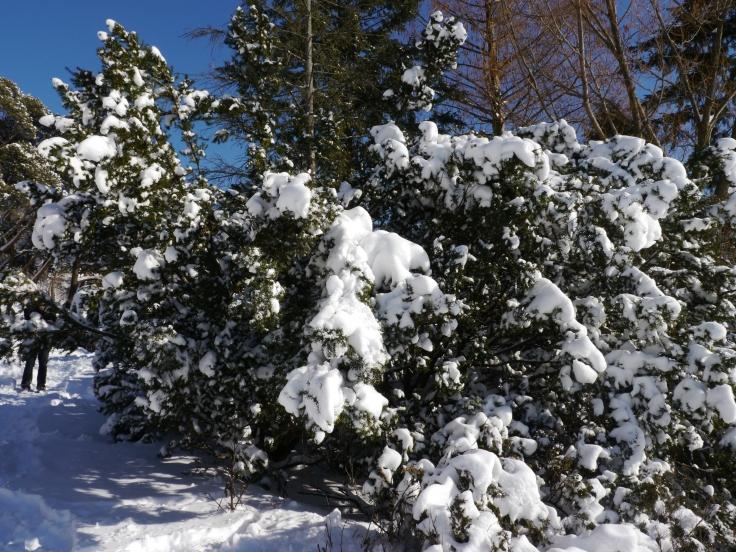 La neige transforme les arbres en arbre à coton.