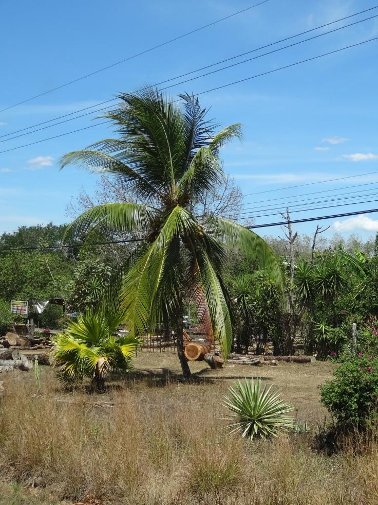 Les palmiers, bien que déjà présents à Alajuela, sont de plus en plus nombreux.