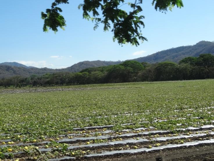 Pourtant, par-ci par-là, des plantations de fruits et légumes détonnent par leurs couleurs verts pétantes.