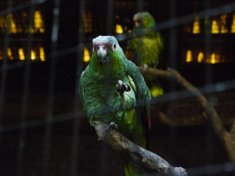 On a essayé, ces perroquets ne parlent pas comme dans les dessins animés! / We tried, those parrots don't speak like in cartoons!