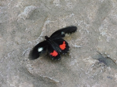 Sous une verrière réservée aux papillons, ceux-ci virevoltaient tout autour de nous! / Under a glass roof designated for butterflies, they swirled around us!