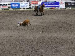 Le cow boy doit coucher le veau à main nues le plus rapidement possible / The cowboy must lay the calf bare hands as quickly as possible