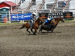 Le cow boy s'apprête à se jeter sur veau / The cowboy is ready to pounce on calf