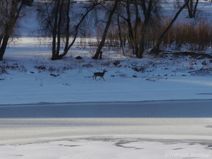 Les animaux, eux, s'en fichent et ne respectent pas les panneaux interdisant d'aller sur la glace!