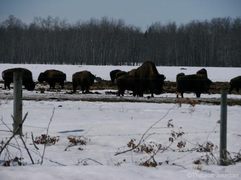 Sur la route, j'ai croisé des bisons. Première fois que j'en voyais au Canada! / I saw bisons for the very first time in Canada