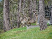 Des biches se promenaient dans le cimetière / Few deers were taking a walk in the cemetery