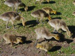 Des centaines d'oisons accueuillaient les marcheurs chaque matin et chaque soir, sous l'oeil vigilant des oies adultes.