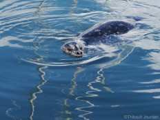 Quelques phoques nagent tranquillement le long du quai / Several seals relax near the pier