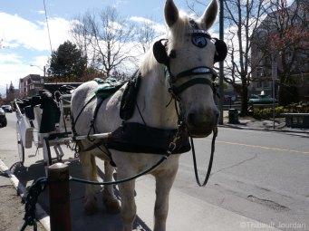 Il est possible de se promener en calèche à Victoria, renforçant ainsi le style britannique ancienne époque / You can enjoy a ride in a horse-drawn carriage in Victoria