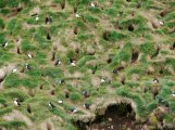 Les macareux creusent leur nid sous la terre / Puffins dig and make their nest underneath the ground
