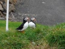 Borgarfjordur puffin macareux islande iceland